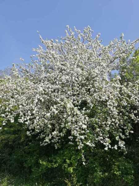 Diga oasi di Campolattaro, cespuglio fiorito